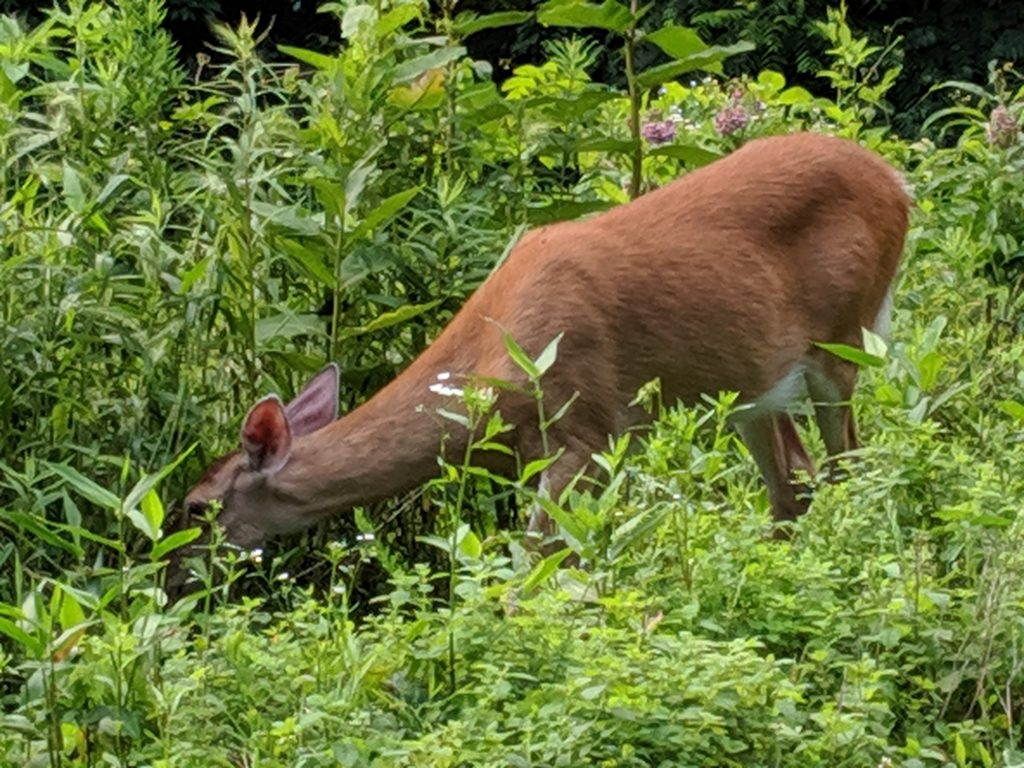 Sweetie, the ever curious and brave resident Doe.